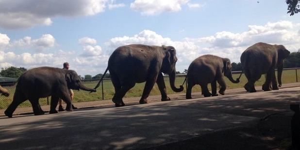 Elephant march in Whipsnade Zoo 11 August