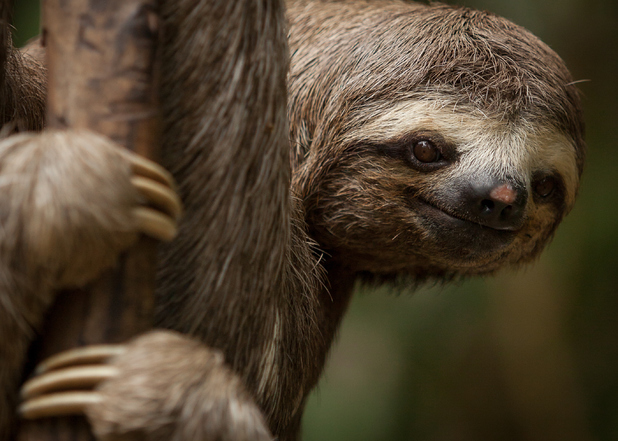 Sloth in a tree