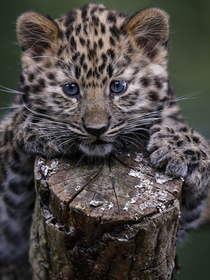 Kanika, Marwell Zoo's 13 week old Amur leopard cub, Winchester, Hampshire 27 August