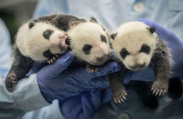 One month old panda triplets at Chimelong Safari Park
