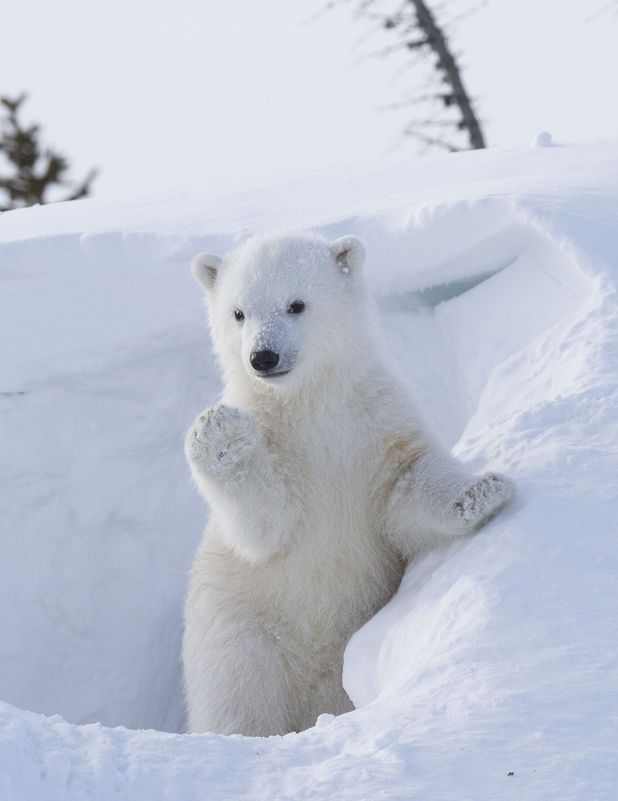 """polar-bear-waves - """"I'm sexy and I know it!"""" - Photos Unlimited"""
