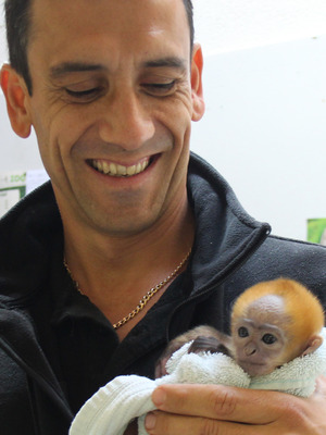 Xiao Xing - Francois' langur hand reared at Belfast Zoo, Belfast 18 September