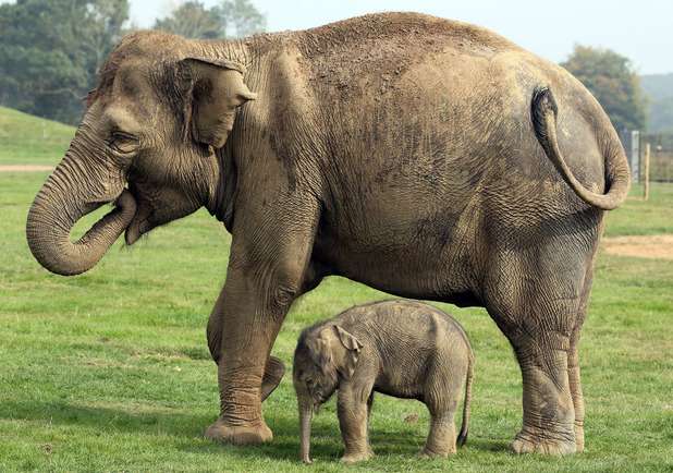 Mother elephant Azizah and her four-day-old baby calf