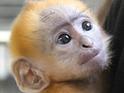 Xiao Xing - Francois' langur hand reared at Belfast Zoo, Belfast 18 September