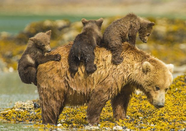Bear cubs climb onto mum's back while she takes a swim, Katmai National Park, Alaska, US August 2014
