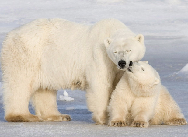 Polar bears cuddle up to one another