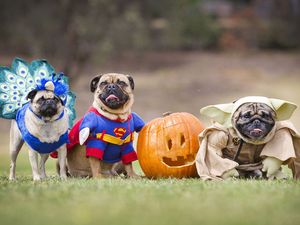 Pug-O-Ween, Tootsie, Basil and Kevin dress up, Melbourne, Australia 26 October