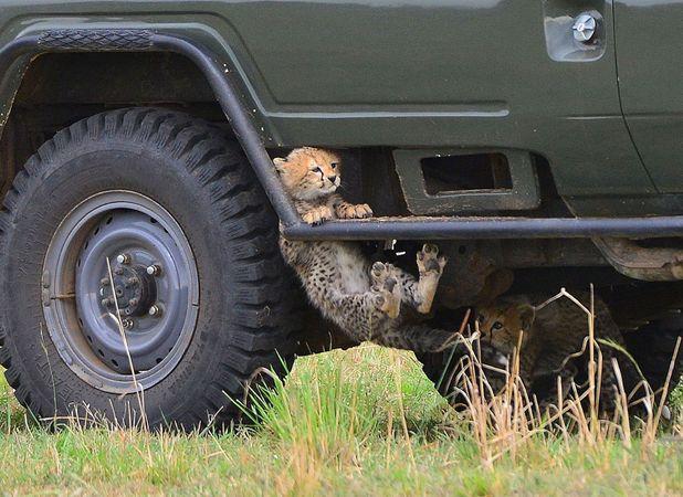Baby cheetahs play in their 'jungle gym'