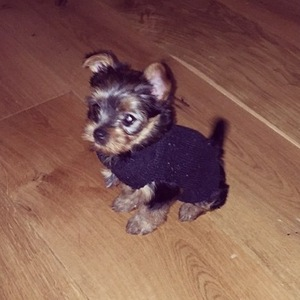 Perrie Edwards and Zayn Malik's new puppy, Teddy 4 November