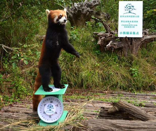 Red panda getting weighed at Sun River National Park in China
