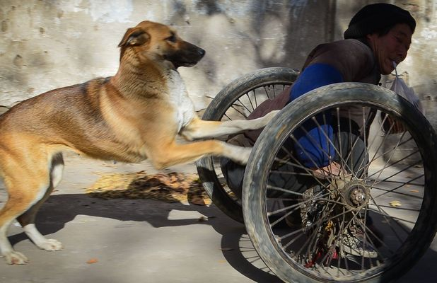 Dog Da Huang pushes his disabled owner to work