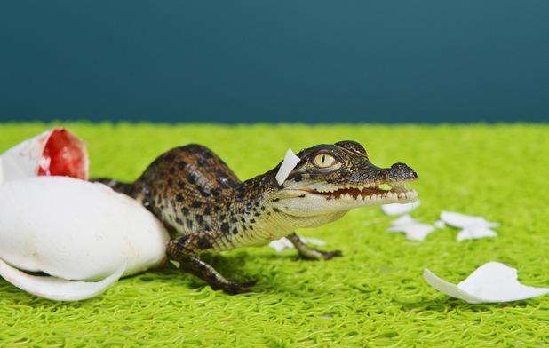 Baby crocodiles hatch at Crocodylus Park, Darwin, Australia, 12/1/15