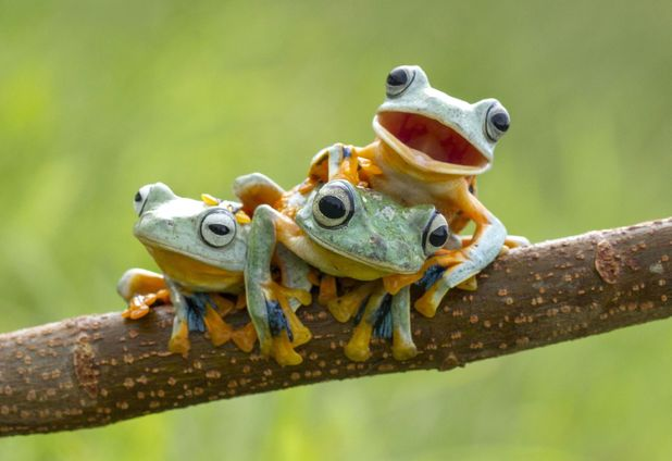 Frogs on a tree branch, Sambas, Indonesia - January 2015