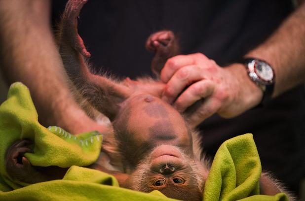 Rieke the baby orang-utan