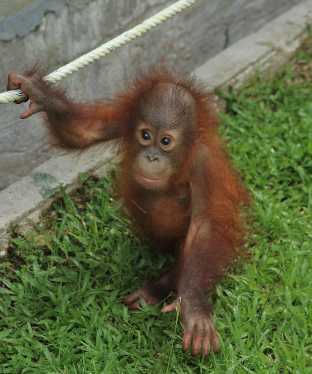 meet orangutans in uk