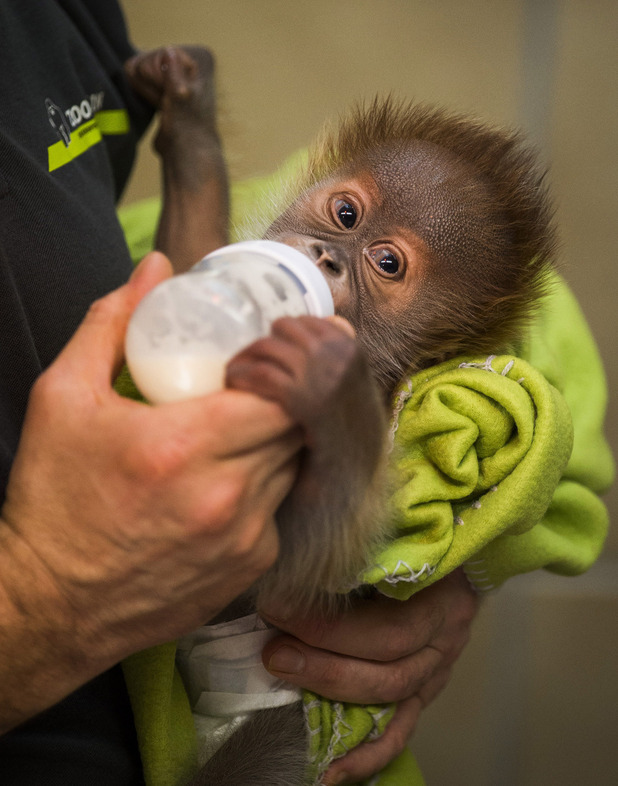 Rieke, baby orang-utan being fed.