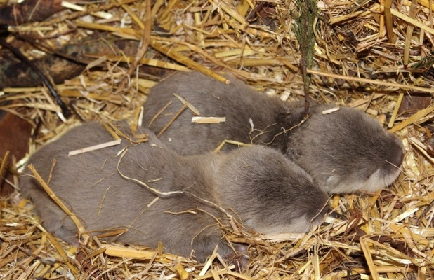 Chessington World of Adventures Resort welcomes two new baby otters, Chessington, Surrey February