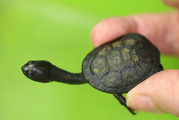 Roti island snake-necked turtle born at Bergzoo Halle, Germany, 20/2/15