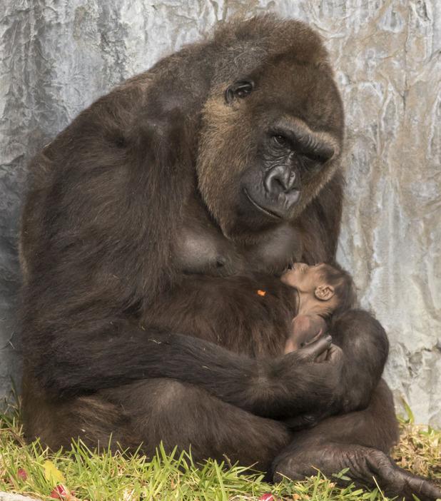 Endangered gorilla born at Busch Gardens, Florida, 17/2/15