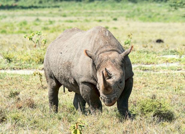 Randy rhino charges car in West Midlands Safari Park