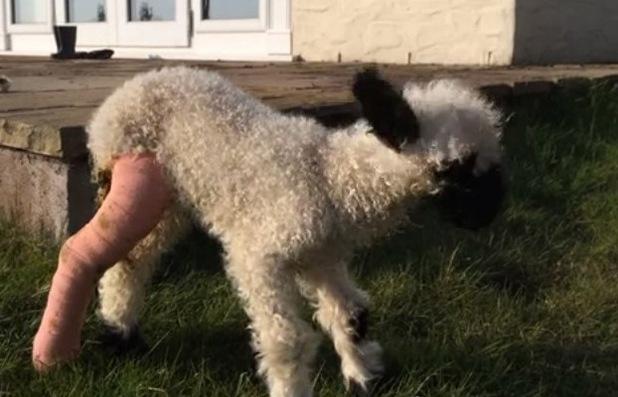 Claude the lamb with a broken leg