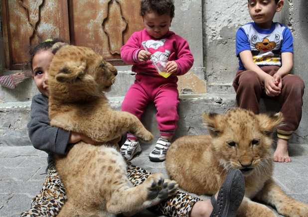 Kids play with lion cubs owned by their grandfather Saad al-Jamal in Palestinian refugee camp