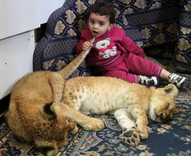 Baby plays with lion cubs owned by her grandfather Saad al-Jamal in Palestinian refugee camp