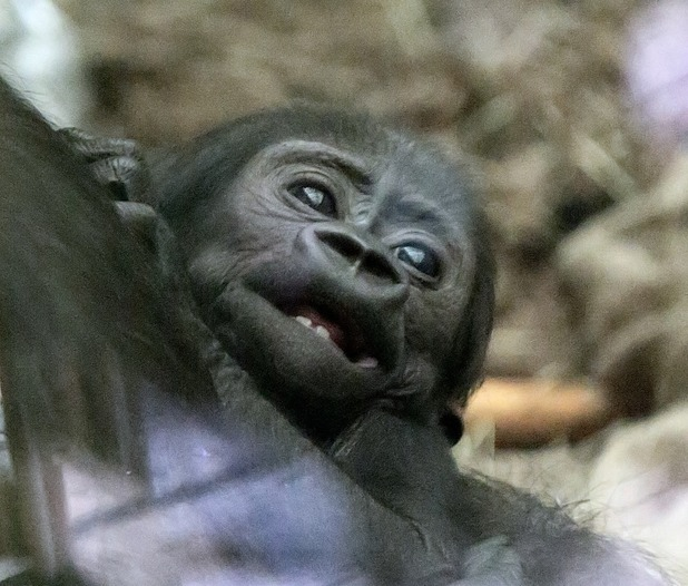 Baby gorilla Alika bares her first teeth, ZSL London Zoo 13 March