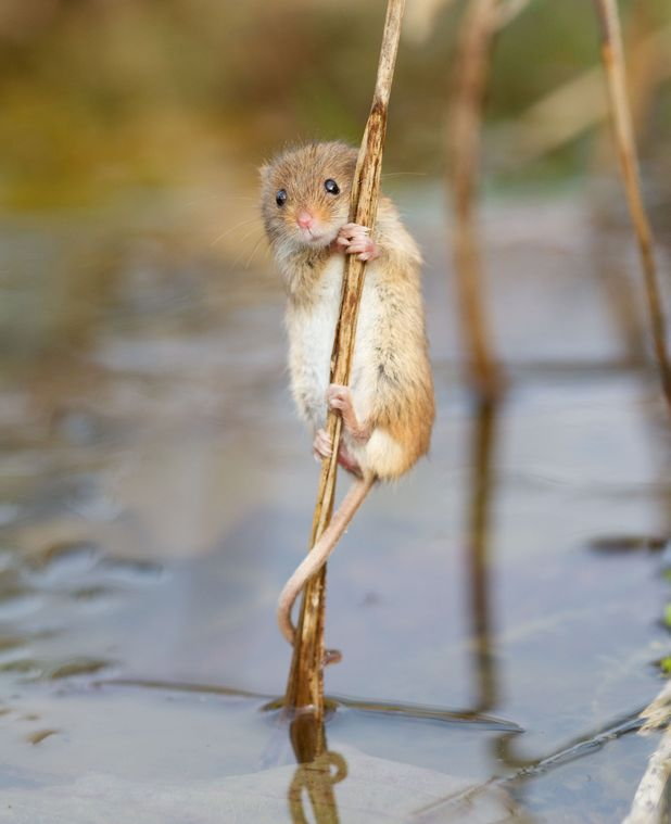 harvest mouse proves even mice can be adorable with reed bed photo lifestyle news reveal. Black Bedroom Furniture Sets. Home Design Ideas