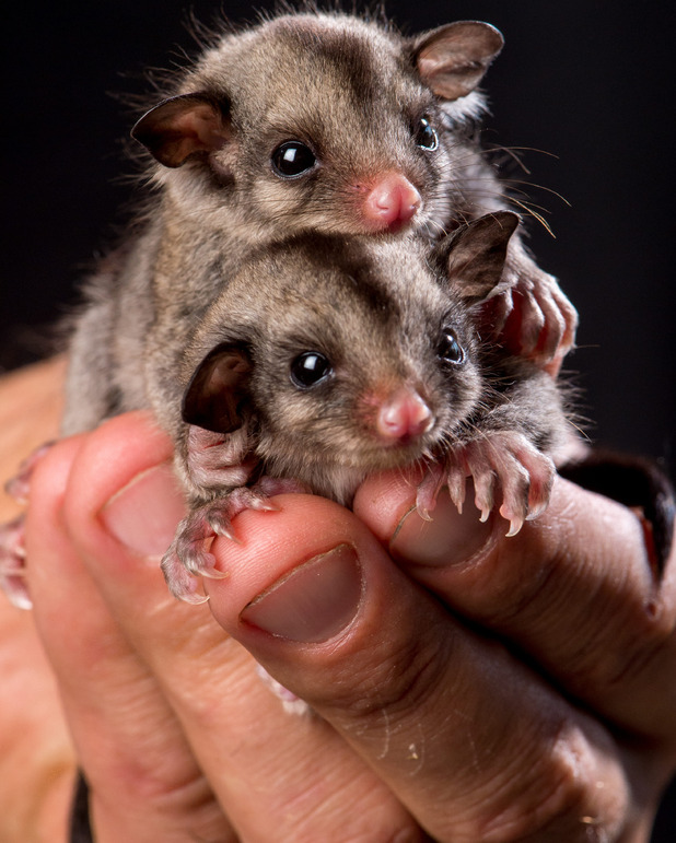 12-week-old sugar sliders from Wild Action Zoo, Macedon, Australia. 23/3/15