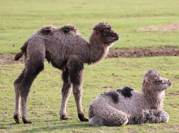 Baby camel arrivals at ZSL Whipsnade Zoo, Bedfordshire 10 March