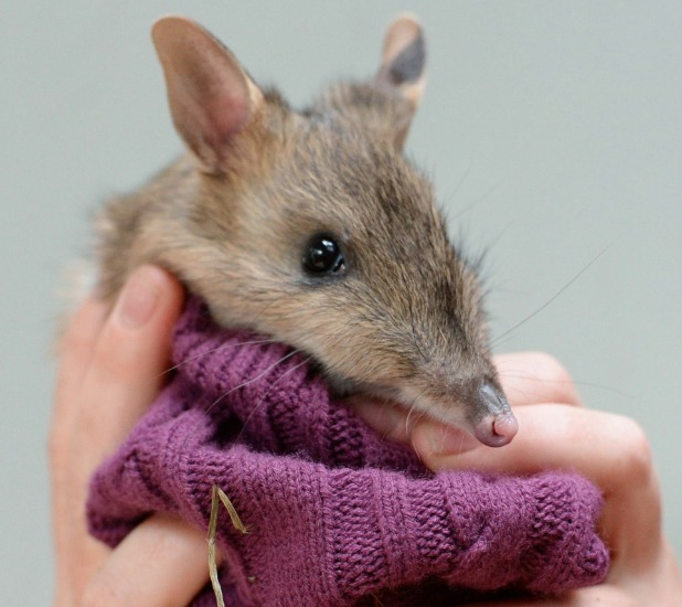 Eastern Barred Bandicoots are being hand-reared at Melbourne Zoo