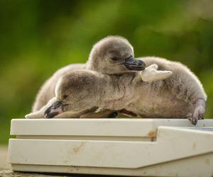 Newborn penguin chicks at Chester Zoo May
