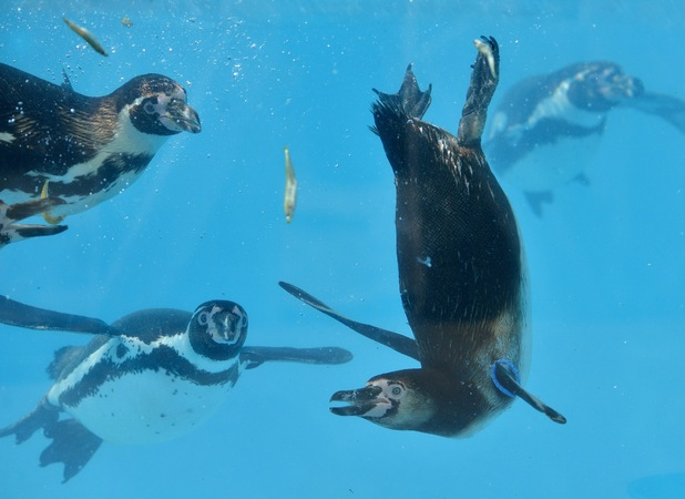 Cheeky penguins play with their food in the water