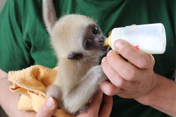 White-Handed Gibbon hand reared in Germany 30 April 2015
