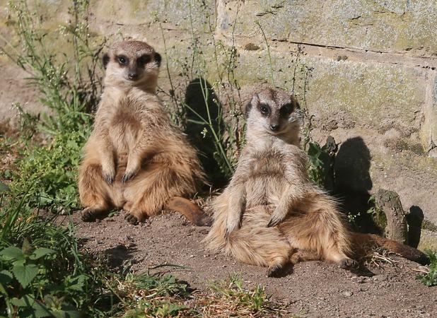 Meerkats relax in the sun