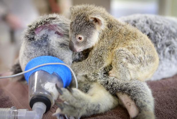 Phantom the baby koala looks after mum Lizzy as she undergoes surgery