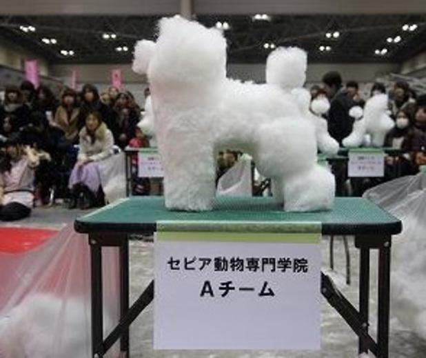 Box-shaped dog white poodle at dog show
