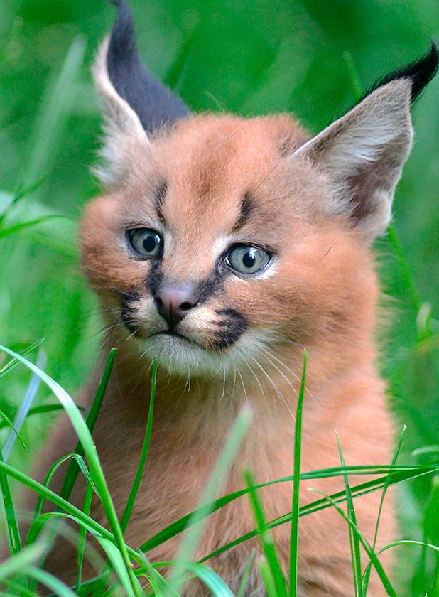 Caracal kittens born at Dvur Kralove Zoo, Czech Republic - 01 Jul 2015