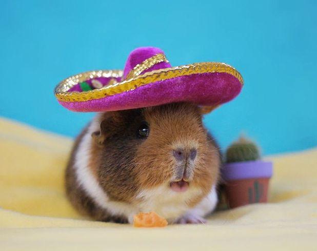 Fuzzberta and MiniGuineaPig - wearing a sombero hat