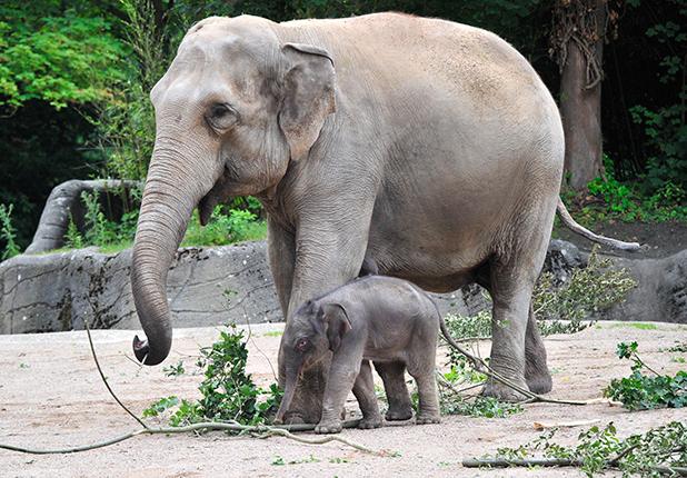 Baby elephant at Hagenbeck Zoo, Hamburg, Germany - 16 Jul 2015
