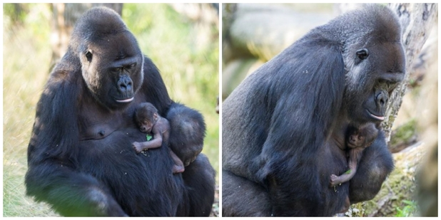 On July 16, Zoo Basel witnessed the arrival of another new Western Lowland Gorilla.