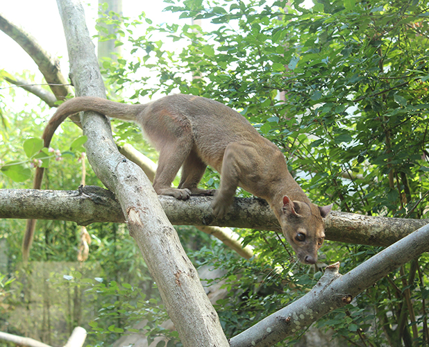 A female Fossa is introduced at Chessington World of Adventures 23 July 2015