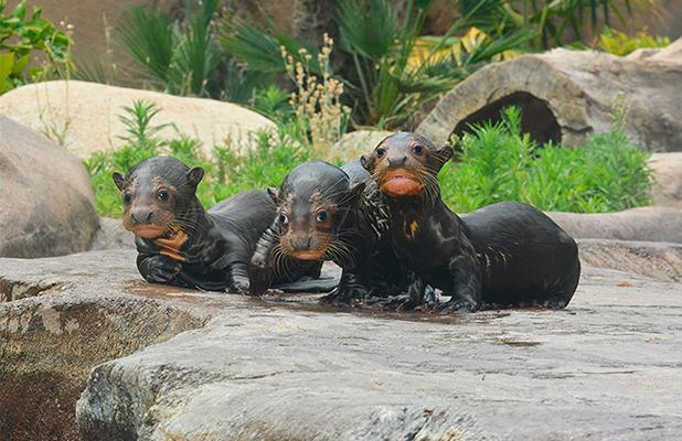 Giant otter pups born in LA Zoo, Los Angeles, USA - 13 Jul 2015