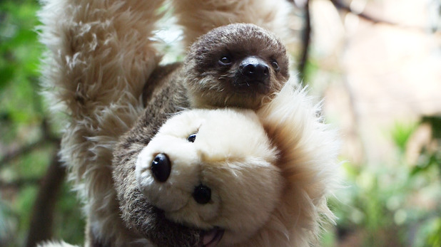 Seven-week-old two-toed baby sloth at ZSL London Zoo, 30th July 2015