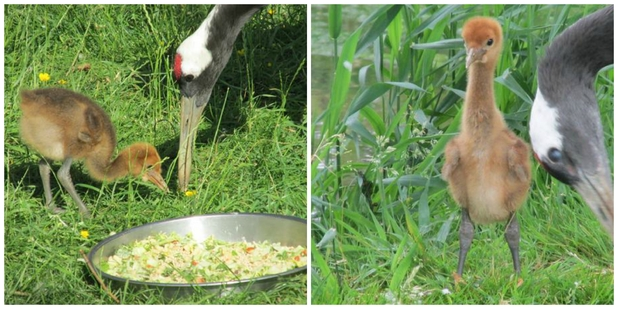 Rare wattled crane chick adopted by red-crowned cranes at ZSL Whipsnade Zoo, August 2015