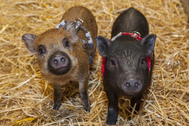 Two new miniature pigs named Arnie and Sylvester have become the latest residents to join Folly Farm, August 2015