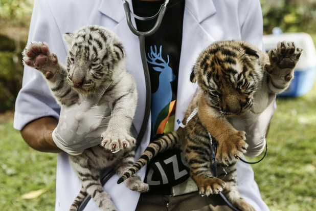 New Born Bengal Tiger Cubs At Bali Zoo, 14th August 2015