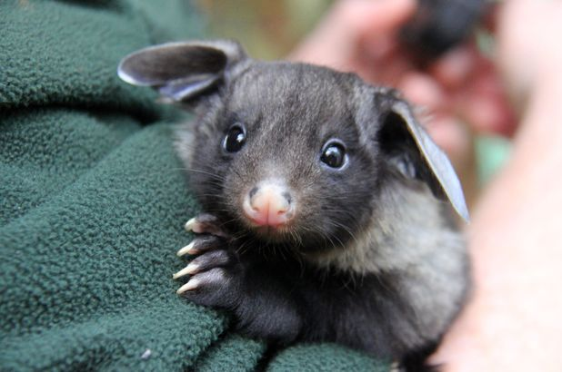 Yellow-bellied glider pictured at Taronga Zoo