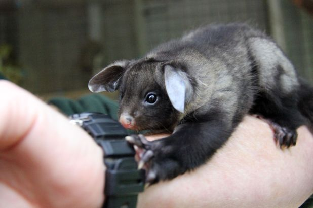 Yellow-bellied glider joey with a keeper at the Australian zoo